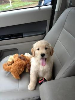 golden-retriever-puppy-in-car